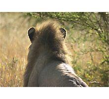"""Expressive Mood"" - male lion (Panthera leo) - Kruger Nat. Park - South Africa Photographic Print"