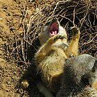 Sunbathing is so  hard-Meerkat Yawn by Eileen O'Rourke