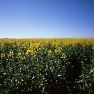 Canola Fields by James Ruff