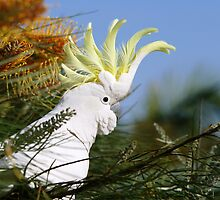Sulpher Crested Kockatoo by cs-cookie