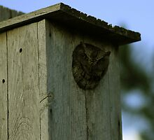 Owl Peeking out of Birdhouse by mhm710