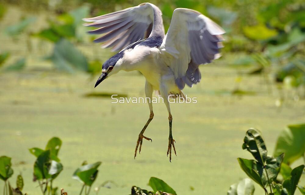 Black-crowned Night Heron by Savannah Gibbs