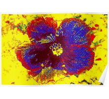 Hibiscus colors Poster