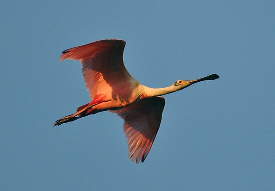 Spoonbill in Flight by venny