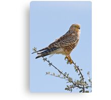 Greater Kestrel Canvas Print