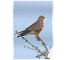 Greater Kestrel Poster