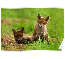 Playing Red Fox Cubs Poster