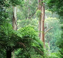 Forest in the Dandenong Ranges by PenguinVic