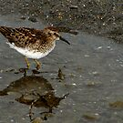 Least Sandpiper in Shallows by Robert Miesner