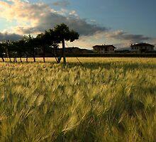 Barley field by annalisa bianchetti