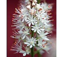 Tiarella - By The Red Barn Door Photographic Print