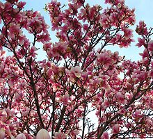 Heavenly Magnolias in May by MarianBendeth