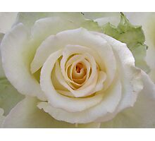 White rose with a peachy heart Photographic Print
