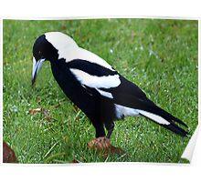 White Backed Magpie - Drouin Victoria Poster