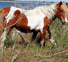 """Painted Beauty"" Wild Horse, Assateague Island by Sandra Fazenbaker"