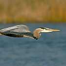 Speedy Heron  by Monte Morton