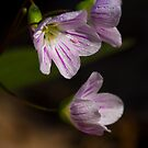 Eastern Spring Beauty - Claytonia Virginica by Megan Noble
