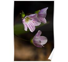 Eastern Spring Beauty - Claytonia Virginica Poster