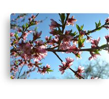 Peach Blossom Canvas Print