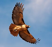 110809 Red Tailed Hawk by Marvin Collins