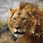 Cat: Large Male Lion Looking Intently, Maasai Mara, Kenya  by Carole-Anne