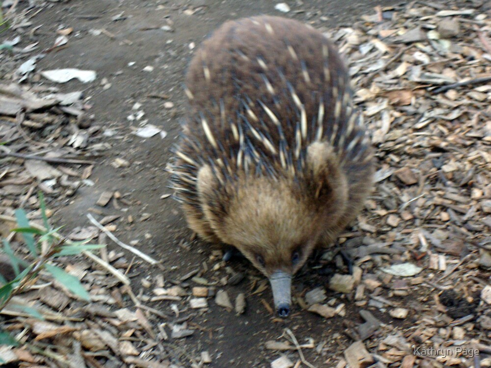 """""""Eroll the Echidna"""" by Kathryn Page"""