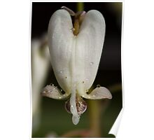 Dicentra Canadensis - Squirrel Corn Poster