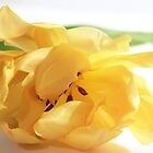 Tulip in Yellow by Margi