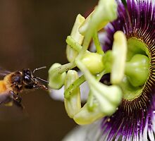 Bee and passion fruit flower by John Spies
