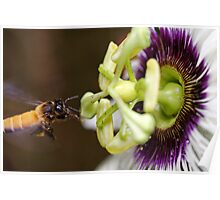 Bee and passion fruit flower Poster
