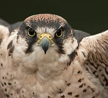 Peregrine Falcon by KWTImages