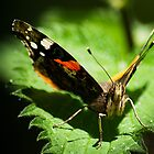 Red Admiral Face on by KWTImages