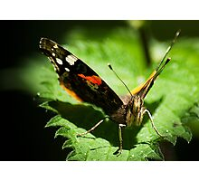 Red Admiral Face on Photographic Print