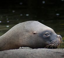 Sealion by KWTImages