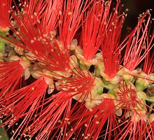 Australian Native Bottle Brush by Paul  Donaldson