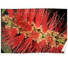 Australian Native Bottle Brush Poster