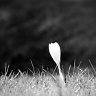 White Crocus on Lawn by RKLazenby