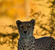 Cheetah  by corsefoto