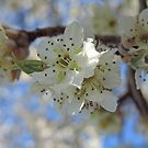 White Blossoms of an Ornamental Pear Tree by Marilyn Harris