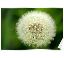 Dandelion Seed Head ( clock) Manfield Scar,River Tees,England Poster