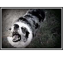 Border Collie with Bone Photographic Print