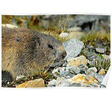 Wild Marmot Poster