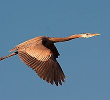 012010 Great Blue Heron by Marvin Collins