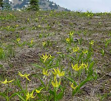 Avalanche Lilies at Hurricane Ridge by mrscaer