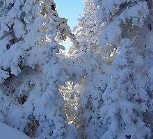 Sunlight behind Winter Trees at Hurricane Ridge by mrscaer