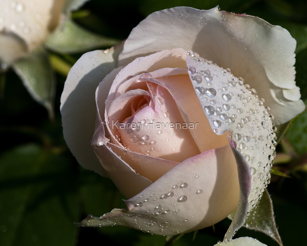 Pearls on the Rose by Karen Havenaar