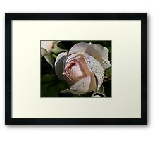 Pearls on the Rose Framed Print