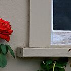 red rose by a window by David Chesluk