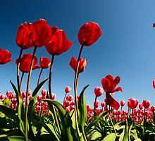 Spring Rising - Skagit Tulip Festival, Washington by Mark Heller