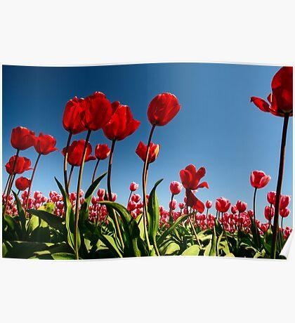 Spring Rising - Skagit Tulip Festival, Washington Poster